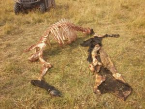 Cow-killed-by-wolves